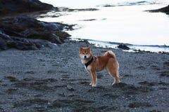 Cão de cachorrinho do inu de Shiba na praia em Noruega Imagens de Stock