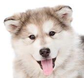 Cão de cachorrinho do malamute do Alasca do retrato do close up Isolado no branco Fotografia de Stock Royalty Free