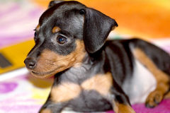 Cão de cachorrinho do Pinscher Imagem de Stock Royalty Free