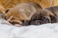 Cão de cachorrinho do pitbull fotos de stock