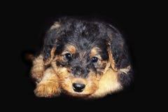 Cão de cachorrinho do retrato de Airdale Terrier Foto de Stock