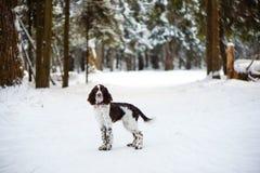 Cão de cachorrinho do spaniel de Springer inglês imagem de stock