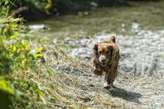 Cão de cachorrinho feliz que corre a você Fotografia de Stock Royalty Free