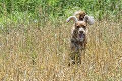 Cão de cachorrinho feliz que corre a você Imagem de Stock Royalty Free
