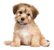 Cão de cachorrinho havanese do assento bonito Imagem de Stock