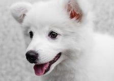 Cão de cachorrinho japonês branco do Spitz Fotos de Stock
