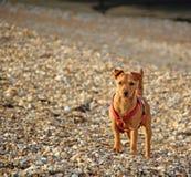 Cão de cachorrinho litoral alerta Foto de Stock Royalty Free