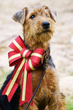 Cão de cachorrinho macio de Airedale Terrier na curva sparkly grande do Natal Imagem de Stock Royalty Free