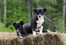 Cão de cachorrinho misturado Collie Corgi gêmeo da raça da beira Fotografia de Stock Royalty Free