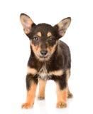 Cão de cachorrinho misturado pequeno da raça que está na parte dianteira Isolado no branco Fotografia de Stock