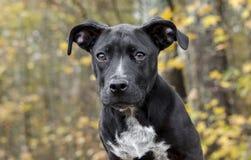 Cão de cachorrinho misturado preto da raça Imagens de Stock