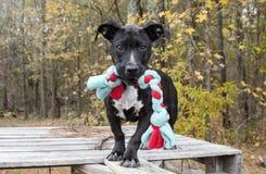 Cão de cachorrinho misturado preto da raça com corda do brinquedo da mastigação Fotos de Stock