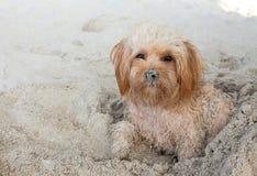 Cão de cachorrinho na praia Imagem de Stock