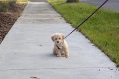 Cão de cachorrinho na primeira caminhada fotografia de stock