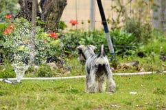 Cão de cachorrinho novo que descobre o sistema de extinção de incêndios da água no jardim home fotografia de stock royalty free