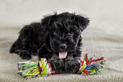 Cão de cachorrinho pequeno com o brinquedo brilhante, jogando Imagem de Stock