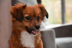 Cão de cachorrinho pequeno com os olhos surpreendidos grandes Fotografia de Stock