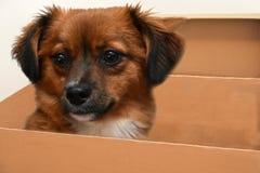 Cão de cachorrinho pequeno com os olhos surpreendidos grandes na caixa de papel fotografia de stock royalty free