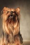 Cão de cachorrinho pequeno curioso do yorkshire terrier que olha acima Fotografia de Stock