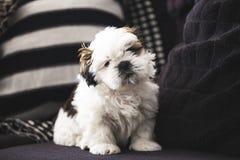 Cão de cachorrinho pequeno de Shi Tzu foto de stock
