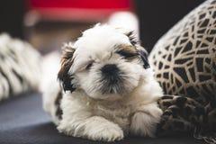 Cão de cachorrinho pequeno de Shi Tzu fotografia de stock