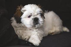 Cão de cachorrinho pequeno de Shi Tzu fotos de stock