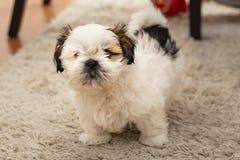 Cão de cachorrinho pequeno de Shi Tzu fotos de stock royalty free