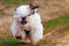 Cão de cachorrinho pequeno de Shi Tzu imagem de stock