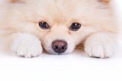 Cão de cachorrinho pomeranian branco Imagem de Stock Royalty Free