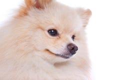 Cão de cachorrinho pomeranian branco Fotografia de Stock Royalty Free