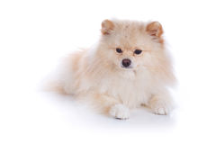 Cão de cachorrinho pomeranian branco Foto de Stock Royalty Free