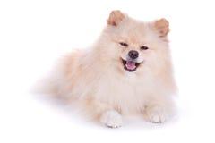 Cão de cachorrinho pomeranian branco Imagem de Stock