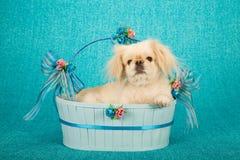Cão de cachorrinho que encontra-se dentro da cesta oval azul decorada com curvas e fitas no fundo azul Imagens de Stock