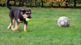 Cão de cachorrinho que joga no prado vídeos de arquivo