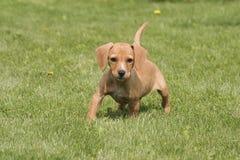 Cão de cachorrinho que olha na grama Fotografia de Stock Royalty Free
