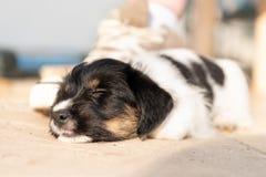 Cão de cachorrinho recém-nascido bonito 7 5 semanas velho estão dormindo ao lado de uma sapata fotos de stock royalty free