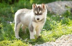 Cão de cachorrinho ronco bonito Imagens de Stock Royalty Free