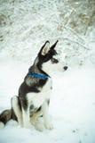 Cão de cachorrinho ronco na neve Fotos de Stock