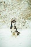 Cão de cachorrinho ronco na neve Imagens de Stock