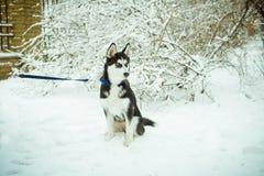 Cão de cachorrinho ronco na neve Fotografia de Stock