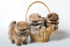 Cão de cachorrinho três na cesta imagem de stock royalty free