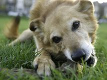 Cão de Canaan Imagens de Stock Royalty Free