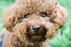 Cão de caniche Fotografia de Stock Royalty Free