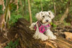 Cão de caniche branco foto de stock