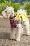 Cão de caniche branco fotos de stock