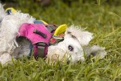 Cão de caniche branco imagens de stock royalty free