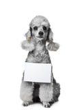 Cão de caniche cinzento com a tabuleta para o texto em w isolado Foto de Stock