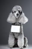 Cão de caniche cinzento com a tabuleta para o texto no cinza Fotografia de Stock Royalty Free