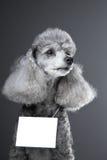 Cão de caniche cinzento com a tabuleta para o texto no cinza Fotos de Stock