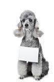 Cão de caniche cinzento com a tabuleta para o texto no isolado Imagens de Stock Royalty Free